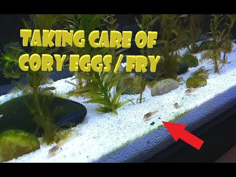 How To Care For Cory Eggs And Fry