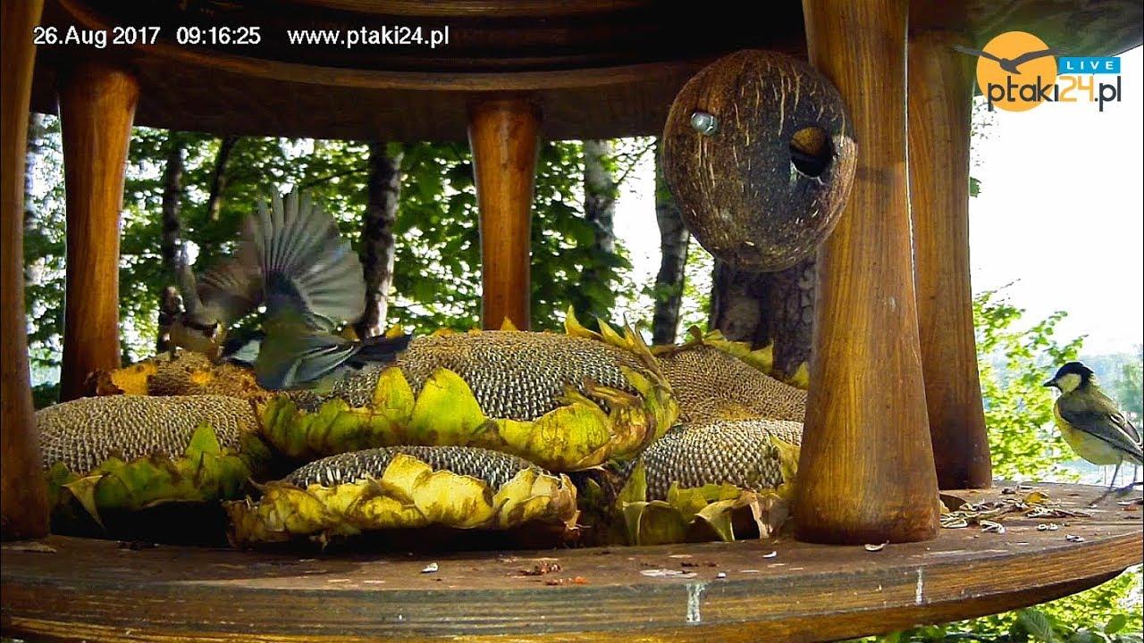 Sikorki i kowalik skubią słonecznik w karmniku nad Soliną