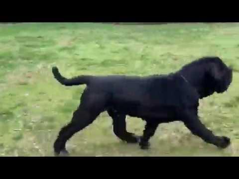 Neapolitan Mastiff Ulisse Di Annamaria