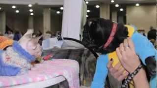 Все О Домашних Животных: Собака На Выставке Кошек