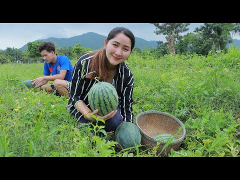Pick Up Tasty Watermelon At Natural Farm - Cooking With Sros