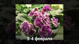 Выставка - продажа сортовых фиалок в Сокольниках 3-4 февраля