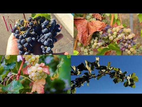 Водный стресс винограда / Water Stress In Grape Vines