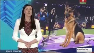Самая красивая и умная собака. Вокруг планеты