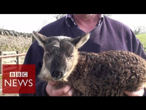 What Do You Get When You Cross Sheep & Goat ? BBC News