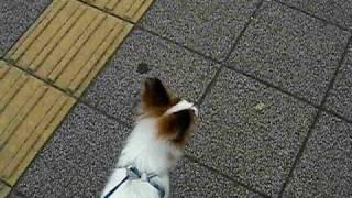 ハーネスで散歩の練習を2日間やったら徐々に進歩しています。