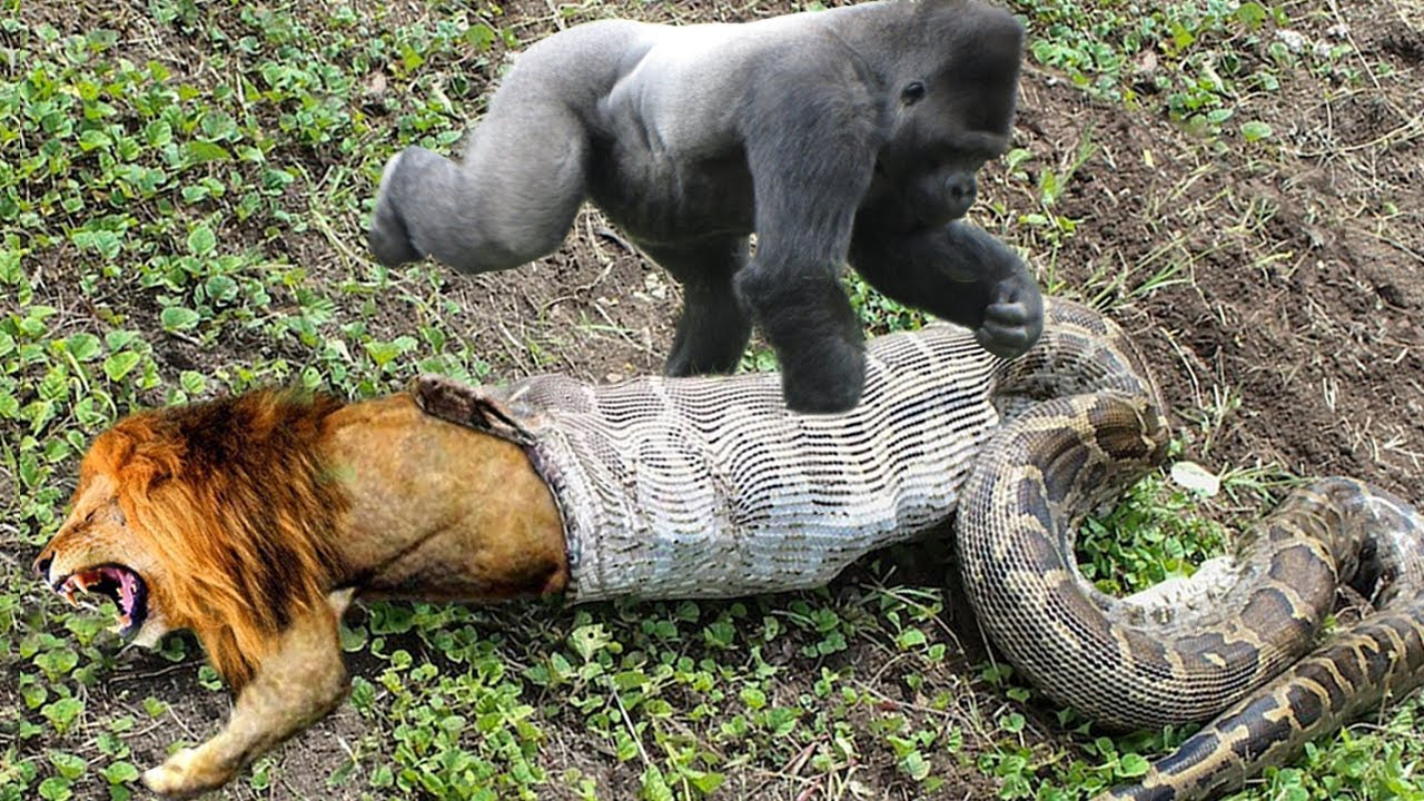 Download Lion Mistakes When Challenged Python – Gorilla Save Deer From Anaconda Hunting, Buffalo vs Wild Dogs