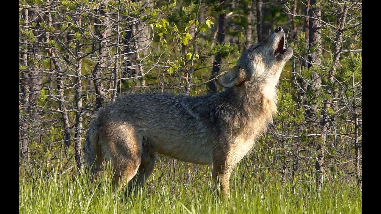 Как воют волки? | Film Studio Aves