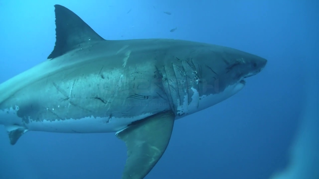 Mediterranean White Sharks Japanese White Sharks Youtube