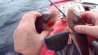 鎌倉カヤック釣りバカ日記(2/7)美しい蝶々魚のホウボウがダブルできた...