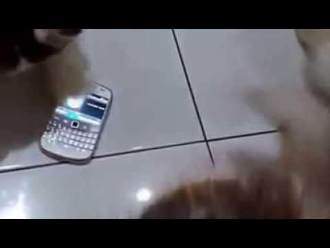 Suara Ringtone HP Semua Kucing Langsung ngumpul