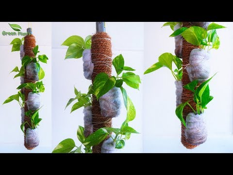 Money plants Without Pots-Money plants Growing on Hanging Stick-Money plant Coir Stick//GREEN PLANTS