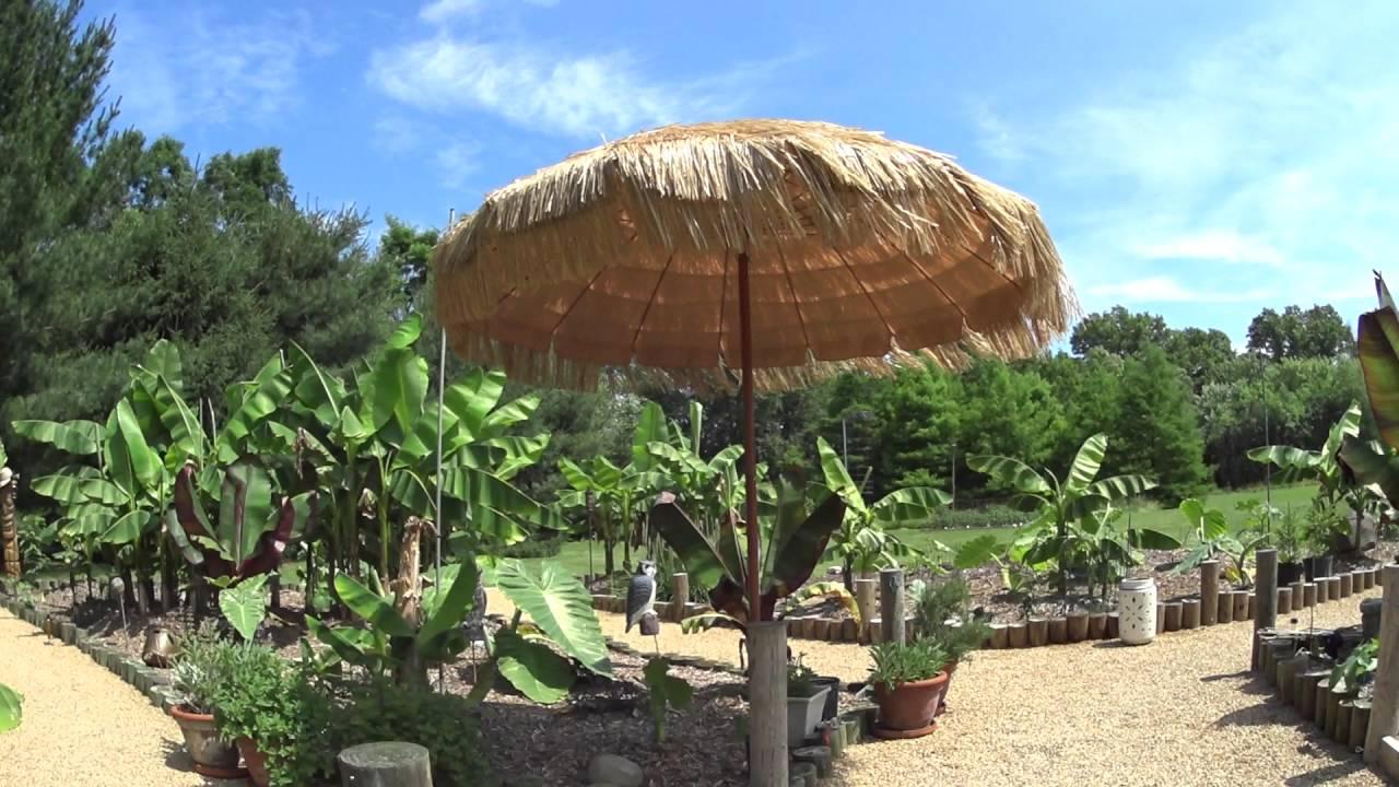 june 15 2016 a quick update of my tropical garden near cincinnati ohio - Tropical Garden 2016