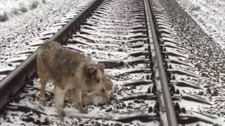 Пёс не оставил раненую подругу и лег с ней под поезд