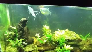 aquatic bugs on the surface of my 55g gourami tank