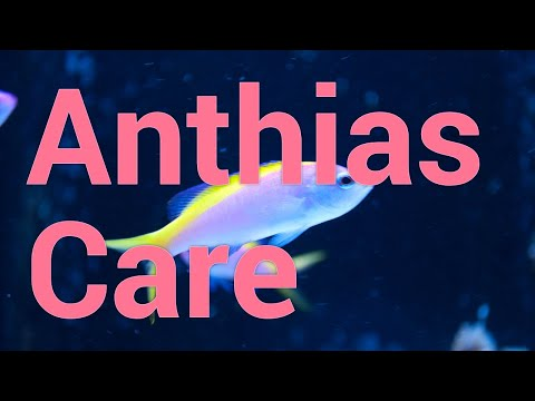 All About Anthias - Care & Feeding In Reef Tanks