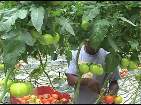 Greenhouse vegetable planting and growing video youtube for Terrace krishi