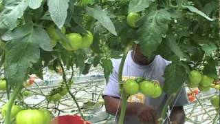 Greenhouse Vegetable Planting And Growing Video
