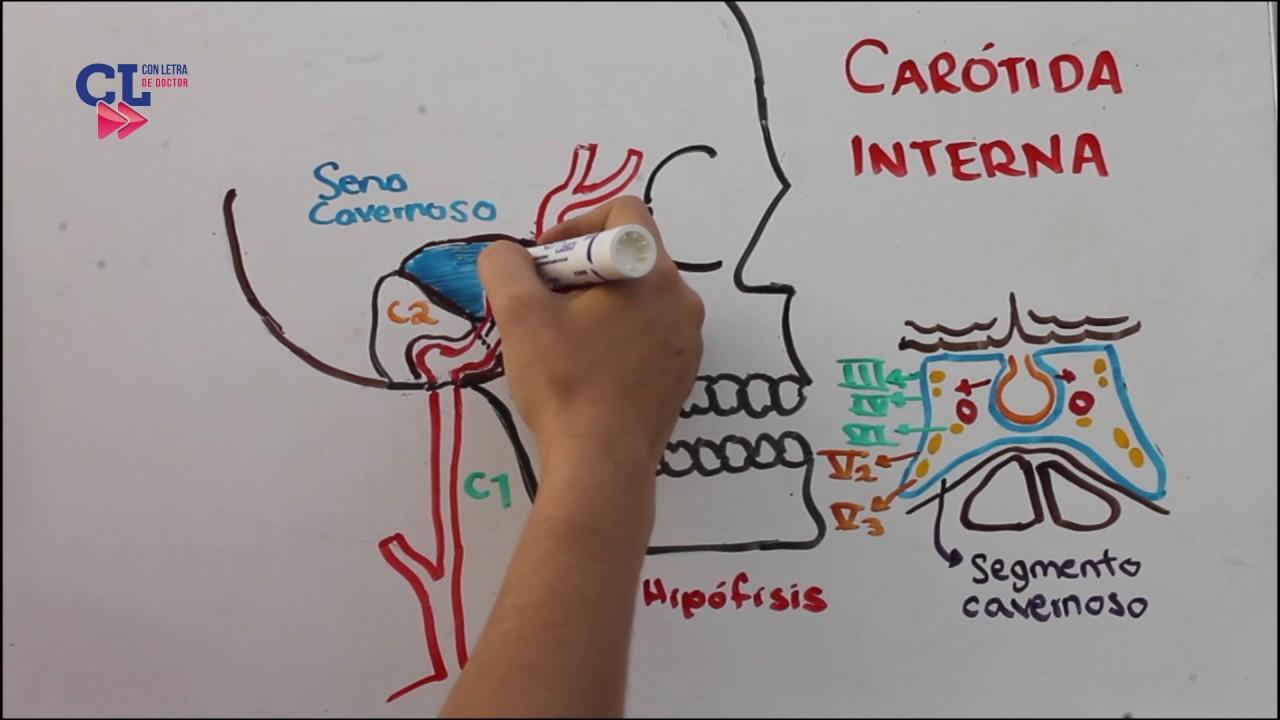 VASCULARIZACION ARTERIAL ENCEFALICA PARTE 1: carotida interna - YouTube