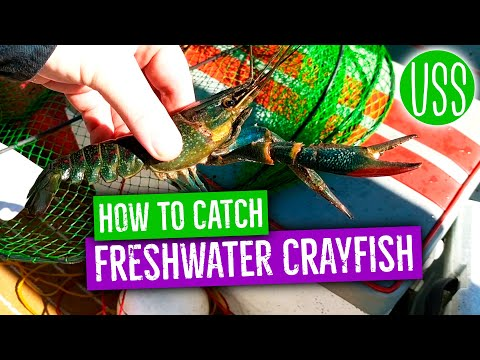 How To Catch Freshwater Crayfish
