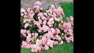 Как заставить розы цвести обильней? Формируем кусты роз правильно!