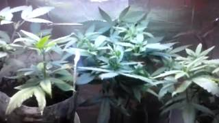 Ep. 5 Week 4 Of Flower | Indoor Cfl Cannabis Grow Cabinet Experiment Closet