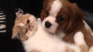 Cavalier King Charles Spaniel And Exotic Persian Brotherly Love