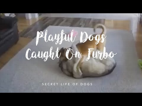 Cute Playful Dogs Caught On Furbo Dog Camera