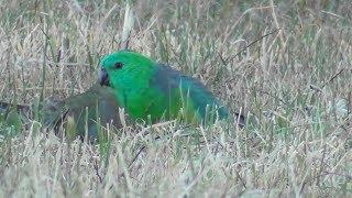 Wild Red-rumped Parrots 🍒🐦
