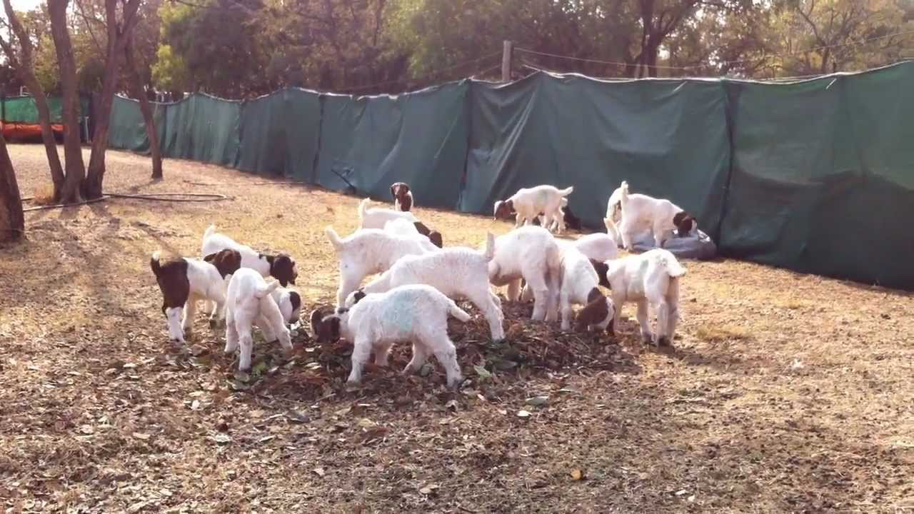 Boer Goat Kids Playing