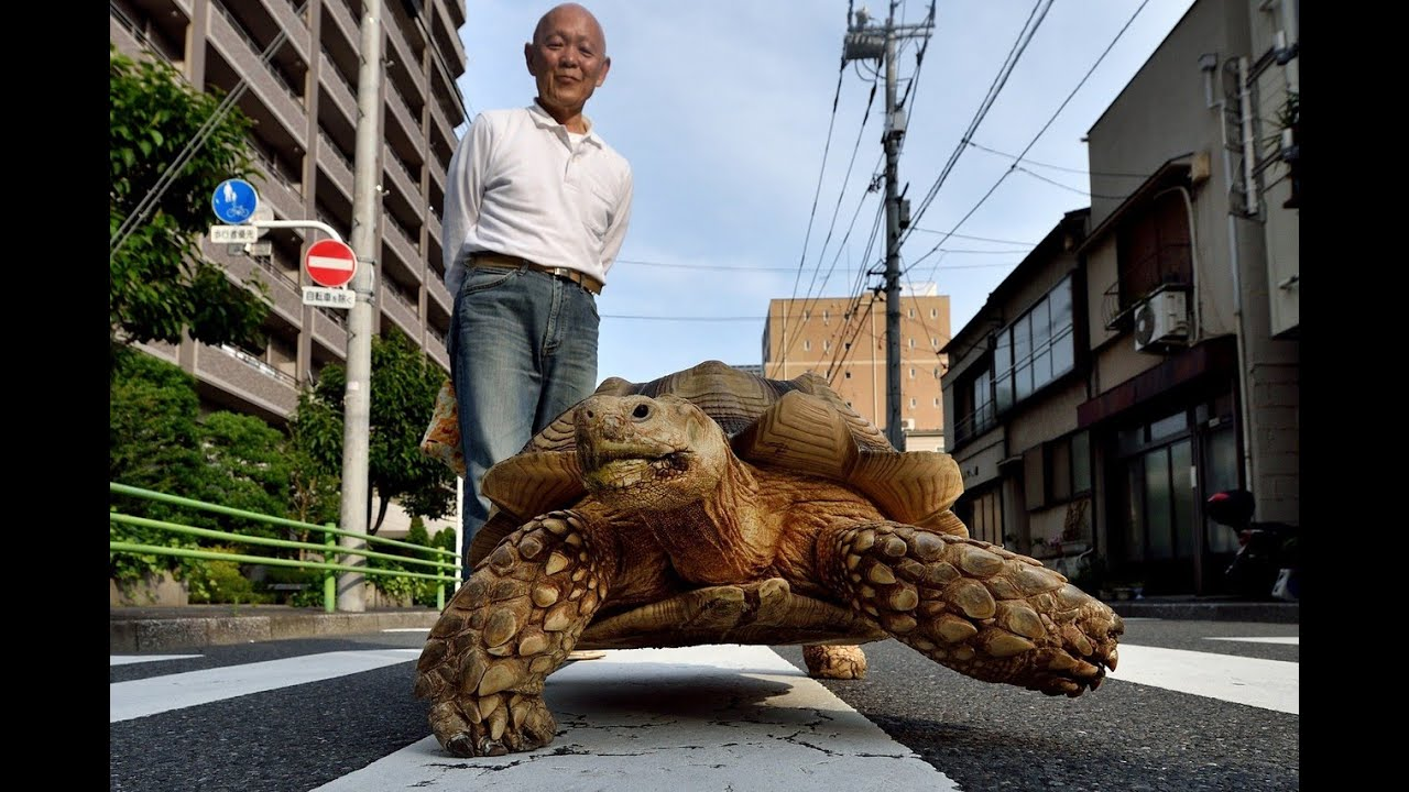 Man Walks Pet Tortoise In Japan YouTube - Man walks pet tortoise through tokyo