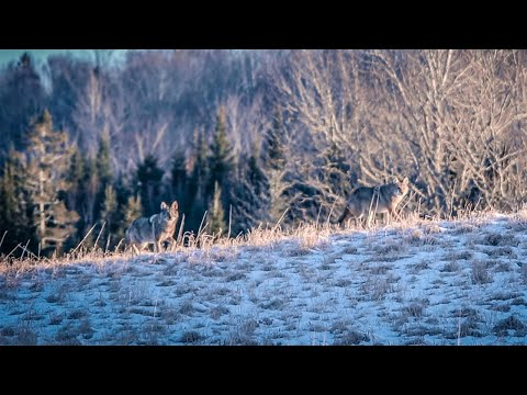 Eastern Coyote Hunting  Nova Scotia - CLV TERRITORY Episode 02: Coldsnap