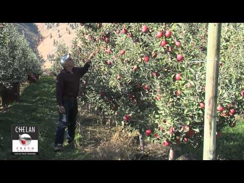 Picking Braeburn Apples in Orondo, Washginton