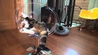 透明な猫ベッドとねこ。-Clear cat bed and Maru.-