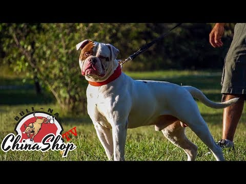 America's Original Farm Dog - Real American Bulldogs Still Exist