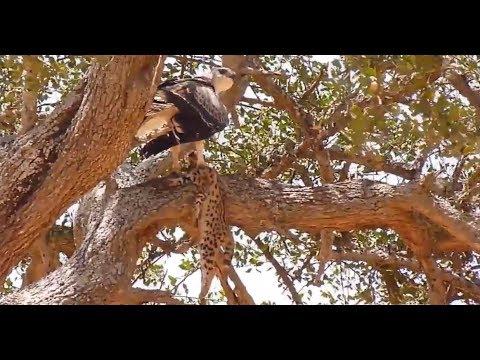 Ganasnya Elang Melumpuhkan Macan Tutul Untuk Dimakan