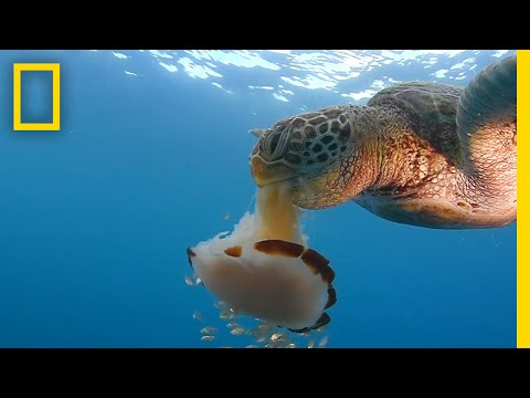 Thumbnail: See a Sea Turtle Devour a Jellyfish Like Spaghetti | National Geographic