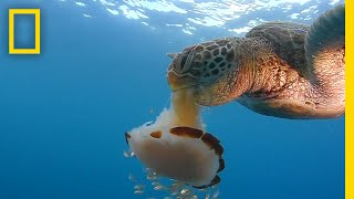 See a Sea Turtle Devour a Jellyfish Like Spaghetti | National Geographic thumbnail