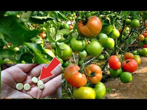 Эти дешевые таблетки в миг спасут ваши помидоры от фитофторы! Фурацилин от фитофторы!