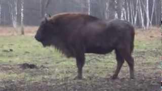 видео Экскурсии по Подмосковью: зубровый питомник