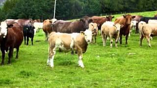 Schottland (12).   Glückliche und wilde Rinder
