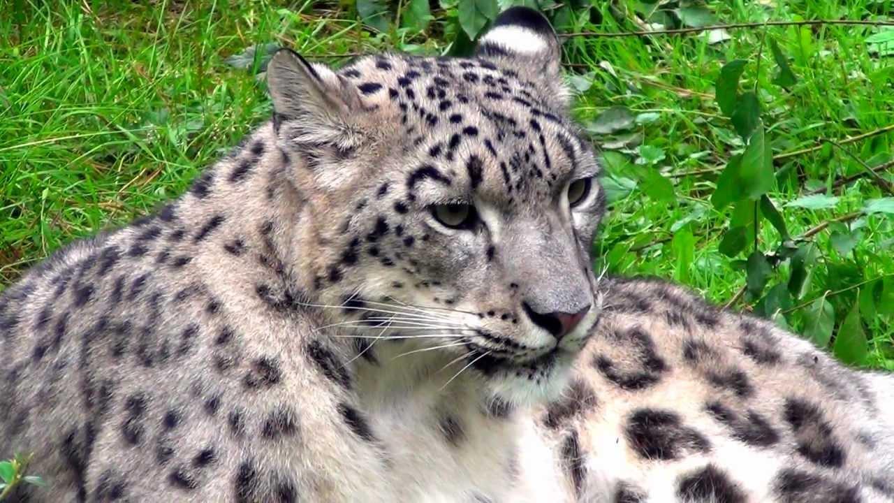 Irbis Snow Leopard In Opole Zoo Pantera śnieżna W Zoo Opole Youtube