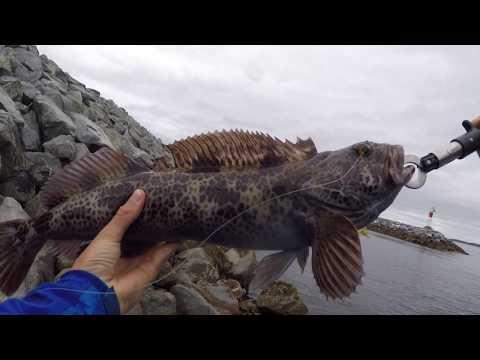 Lingcod Fishing From Shore Victoira Bc