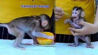 Bravo! Baby Santa learning to eat mango today - Orphan Santa start to eat food now