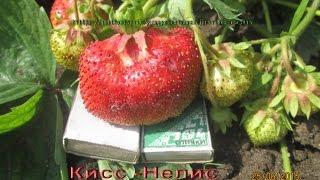 Сорт клубники Кисс -Неллис -гигант  вес ягоды до 100 гр. Саженцы в Витебске(Сорт крупноплодной клубники Кисс -Неллис -сорт -гигант до 100 грамм.Питомник