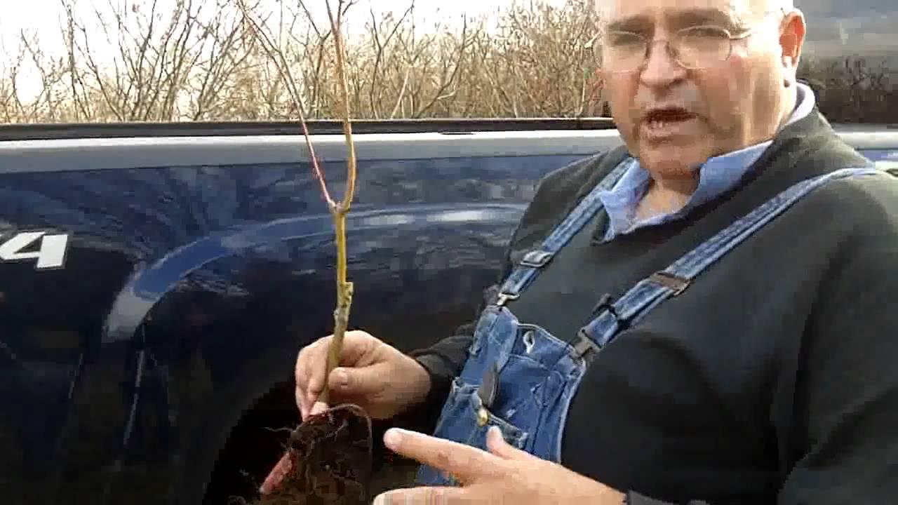 really nice japanese maples crash course on grafting u0026 budding