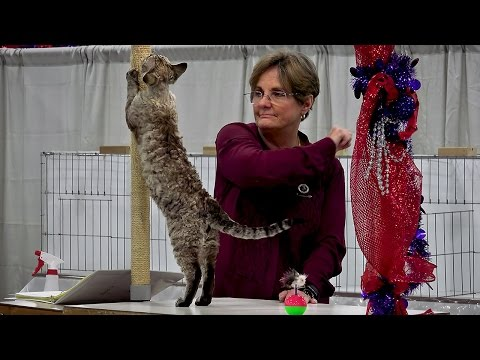CFA International 2016 - Purple Show - Devon Rex kitten class