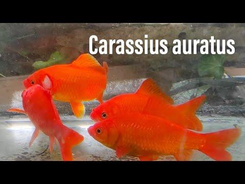 parliamo di pesci rossi esperienze e scheda youtube