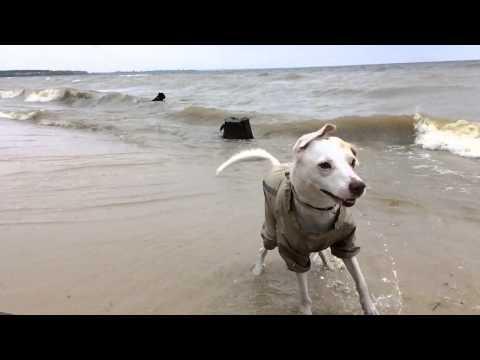 Dogs on the sea / cane corso