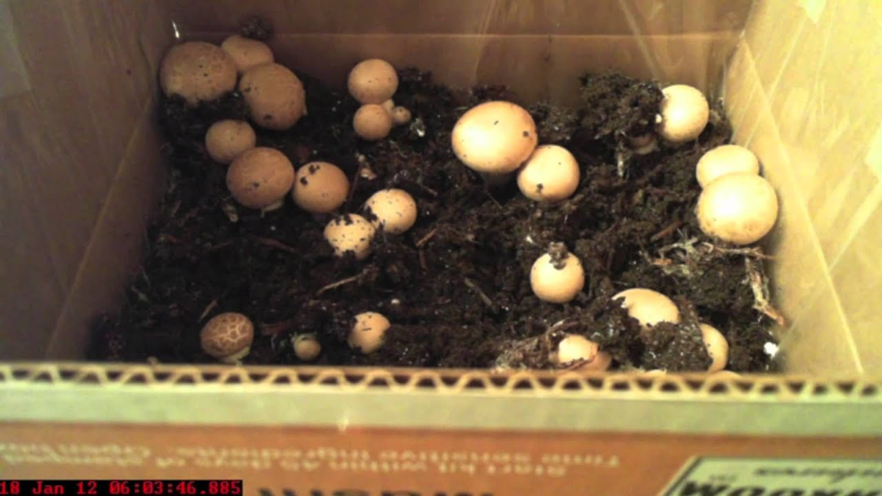How to grow champignons at home Mushroom cultivation technology 46
